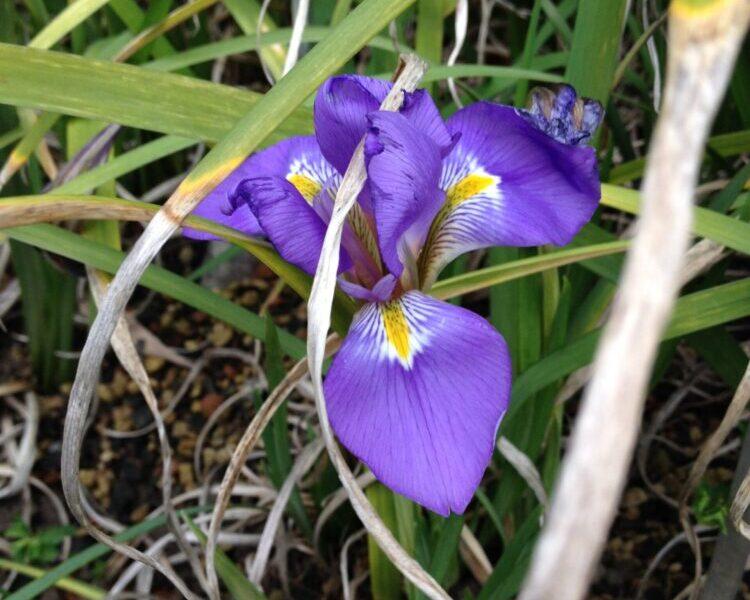 Winterliche Irisblüten