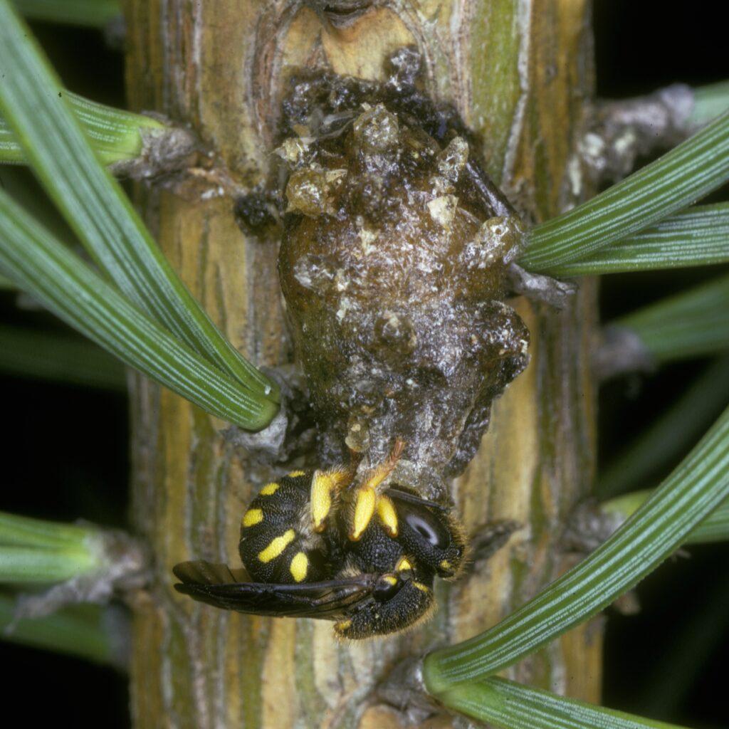 Anthidium strigatum (=Anthidiellum strigatum)
