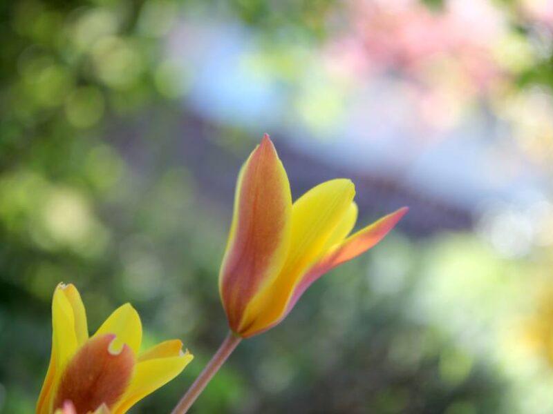 Auch Tulpen können wild sein