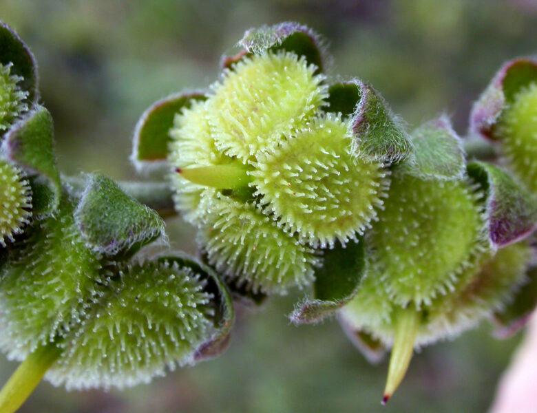Igelhafte Klettfrüchte und facettenreiche Blüten