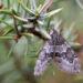 Grauer Wacholder-Nadelholzspanner (Thera juniperata)